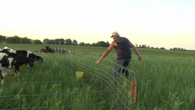 ms pan farmer moving fence panels to provide fresh organic pasture to calves / columbus, wisconsin, usa - columbus indiana stock videos & royalty-free footage