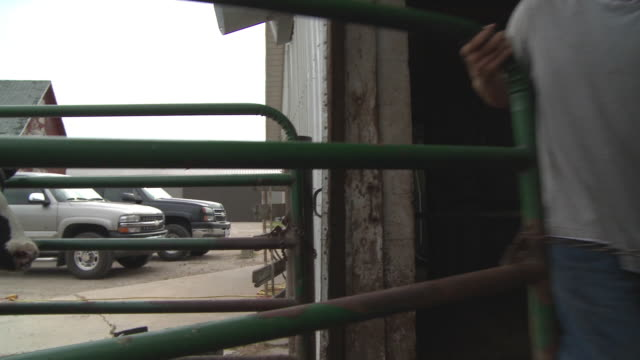 MS PAN Farmer opening gate at dairy farm and herding cows / Newark, Illinois, USA