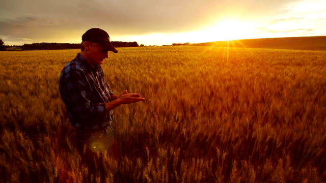 stockvideo's en b-roll-footage met farmer over looking the success of his crops. - inspanning
