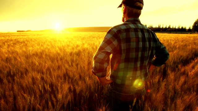 farmer over looking the success of his crops. - agricultural field stock videos & royalty-free footage