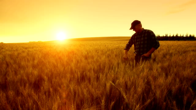 farmer over looking the success of his crops. - wheat stock videos & royalty-free footage