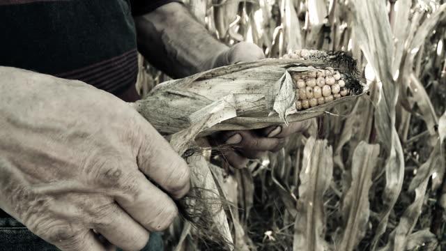 hd: farmer peeling corncobs - peeling food stock videos & royalty-free footage