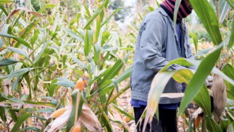 stockvideo's en b-roll-footage met landbouwer die het oor van graan in graangebied pelt. - pellen