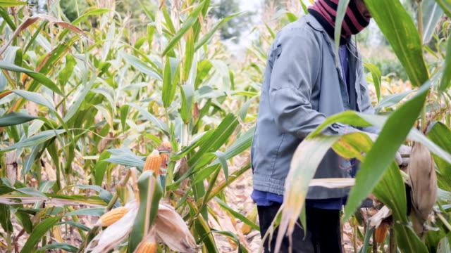 vídeos y material grabado en eventos de stock de agricultor pelando la oreja de maíz en el campo de maíz. - corteza