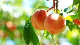 Farmer picked ripe peaches.