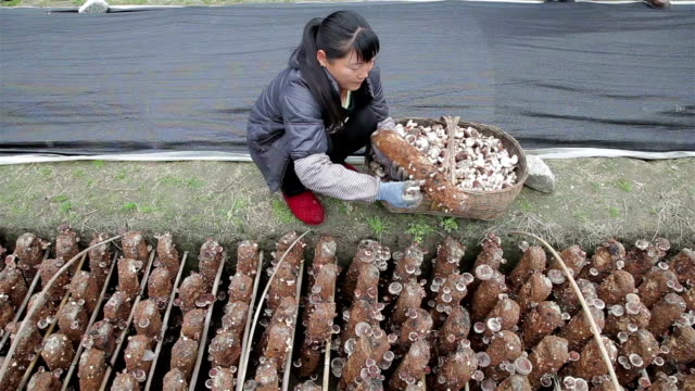 vidéos et rushes de farmer picking mushrooms - cueillir