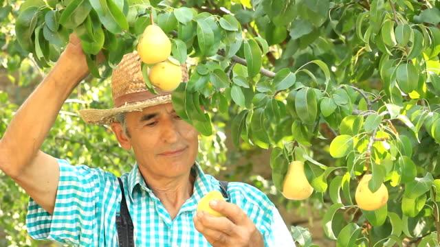 vídeos y material grabado en eventos de stock de farmer recolección peras - pera