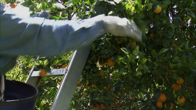 stockvideo's en b-roll-footage met farmer picking tangerines off tree. - boomgaard