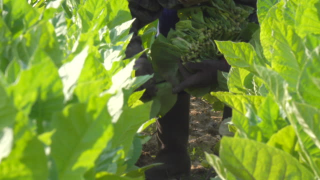 farmer picking tobacco in the field - tobacco crop stock videos & royalty-free footage