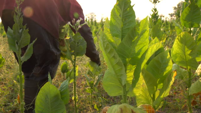 farmer picking tobacco leaf in the plant - tobacco crop stock videos & royalty-free footage