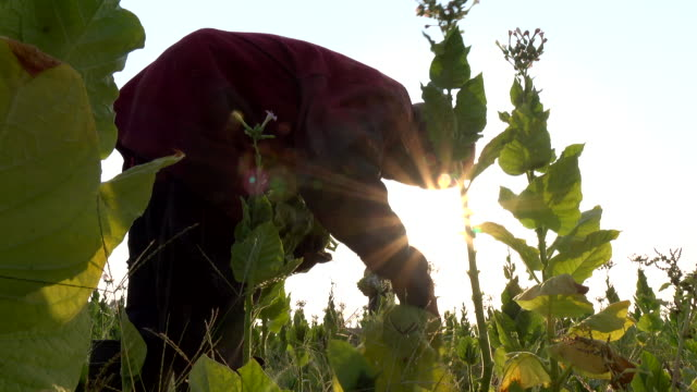 farmer picking tobacco leaf in the plant - landscaped stock videos & royalty-free footage