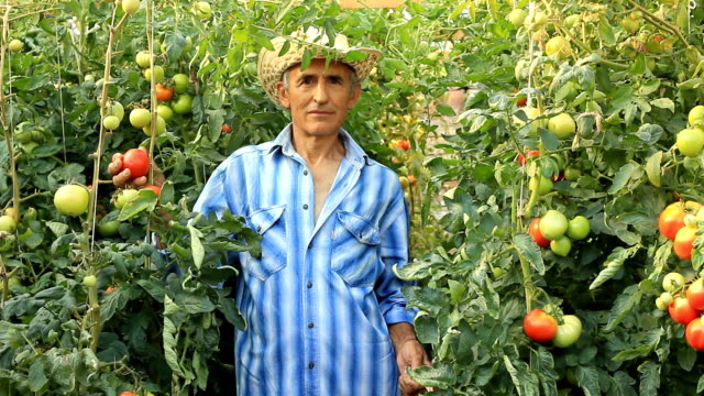 farmer picking tomatoes - farmer stock videos and b-roll footage