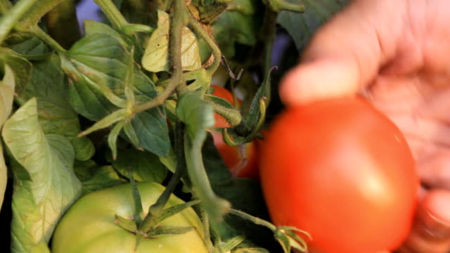 farmer picking tomatoes - picking harvesting stock videos & royalty-free footage