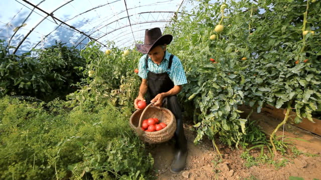 Farmer Picking Tomatoes