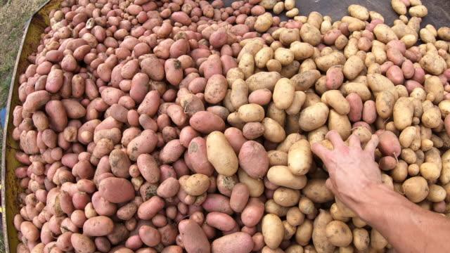 vidéos et rushes de fermier ramassant vers le haut et examinant la pomme de terre moisis - pomme de terre rouge