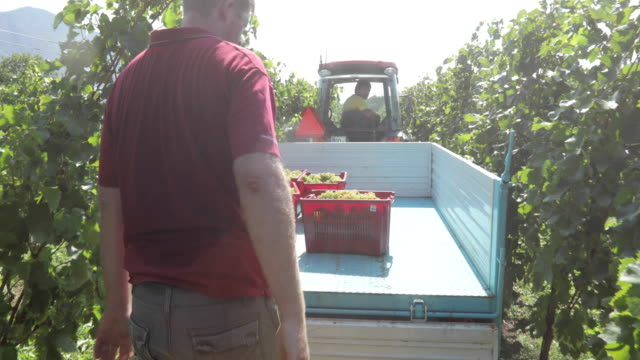 farmer picking up baskets with harvested grape and putting them on tractor trailer - picking stock videos & royalty-free footage