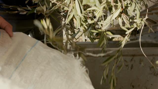 vídeos de stock, filmes e b-roll de farmer picking up olive branches in factory - ramo parte de uma planta