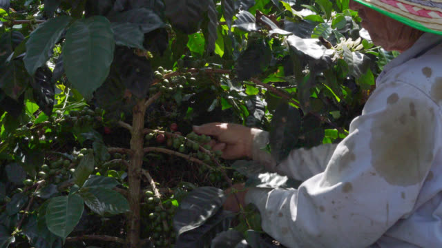 farmer picking up red coffee beans - colombian ethnicity stock videos & royalty-free footage