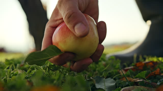 slo mo farmer picks up an apple that has fallen to the ground - picking up stock videos & royalty-free footage
