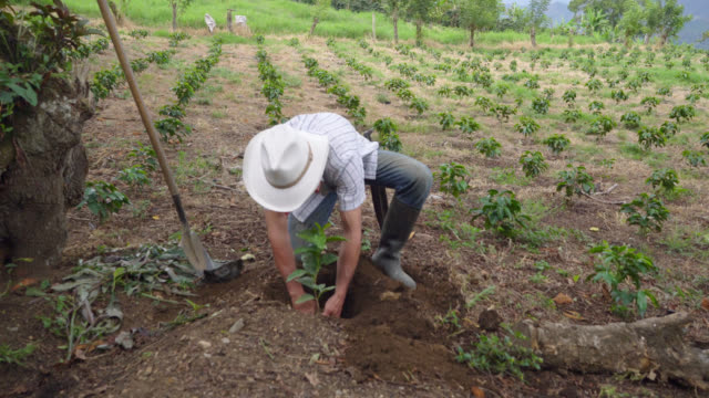 farmer placing a coffee plant in a hole previously dug by him - produttore video stock e b–roll