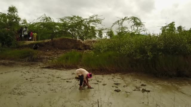 farmer plants rice in the mud in the mangrove forests of the islands of sunderbans, india - westbengalen stock-videos und b-roll-filmmaterial