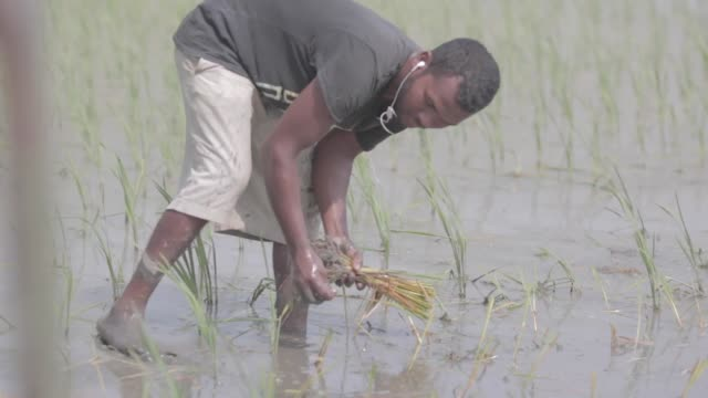 farmer plants rice stalks in a rice field in punjab india while listening to music through his earphones - punjab india stock videos and b-roll footage
