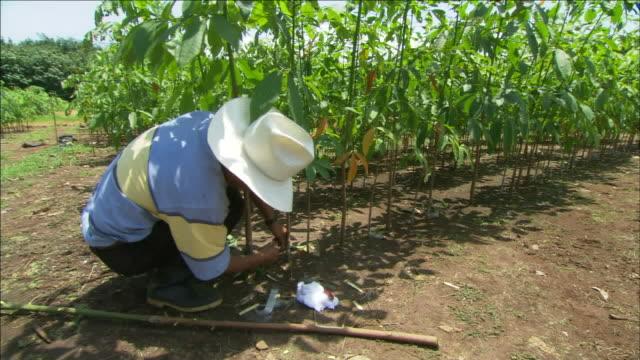 a farmer plants rubber tree saplings. - cowboy hat stock videos & royalty-free footage