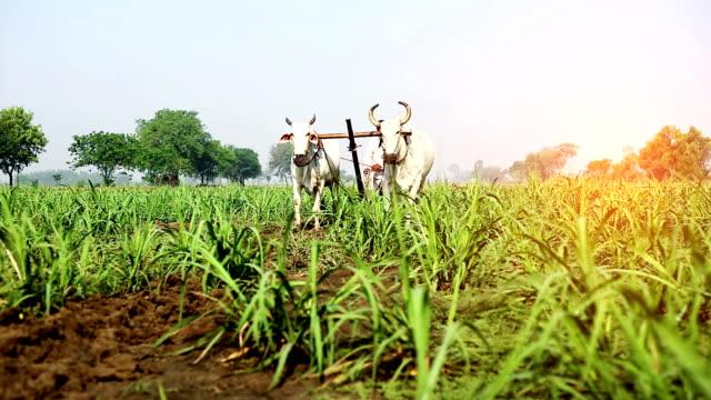 Farmer ploughing field using wooden plough