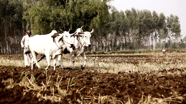 farmer ploughing field using wooden plough - indian ethnicity stock videos & royalty-free footage