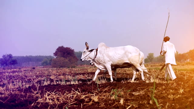 landwirt pflügen feld mit hölzernen pflug - gartengerät stock-videos und b-roll-filmmaterial
