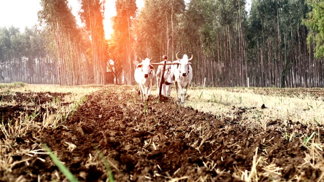 farmer ploughing field using wooden plough - wild cattle stock videos & royalty-free footage