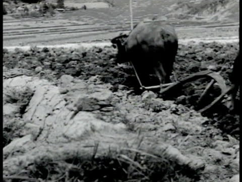 vídeos de stock, filmes e b-roll de farmer plowing rice field w/ water buffalo woman sitting outside making dumplings man carrying vegetables piled high in baskets attached to shoulder... - animal de trabalho