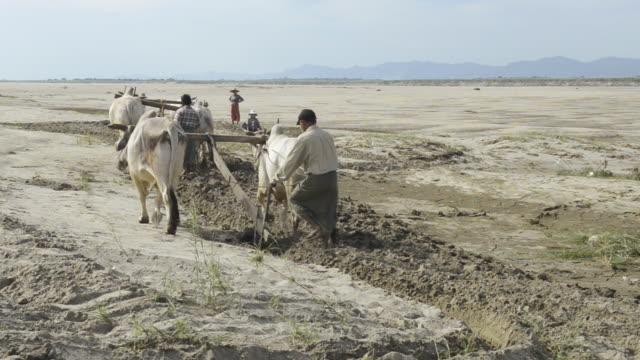 ws farmer plowing with white bullocks on banks of ayeyarwadi river / bagan, mandalay division, myanmar - plowed field stock videos and b-roll footage