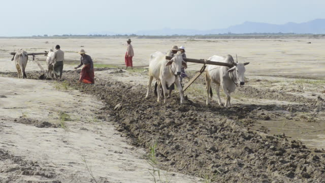 ws farmer plowing with white bullocks on banks of ayeyarwadi river / bagan, mandalay division, myanmar - arbeitstier stock-videos und b-roll-filmmaterial
