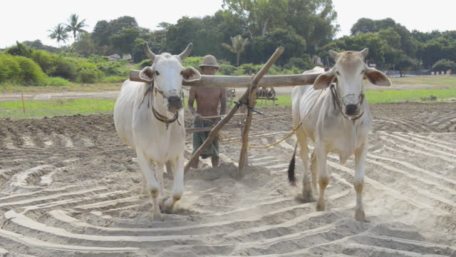 ms pan farmer plowing with white bullocks on banks of ayeyarwadi river / bagan, mandalay division, myanmar - arbeitstier stock-videos und b-roll-filmmaterial