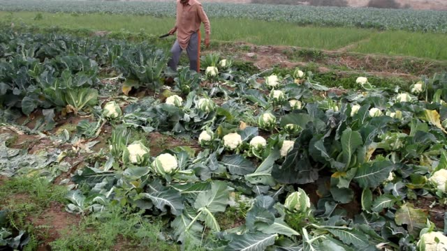 farmer plucking and cutting the cauliflower vegetables from the fields - cauliflower stock videos & royalty-free footage