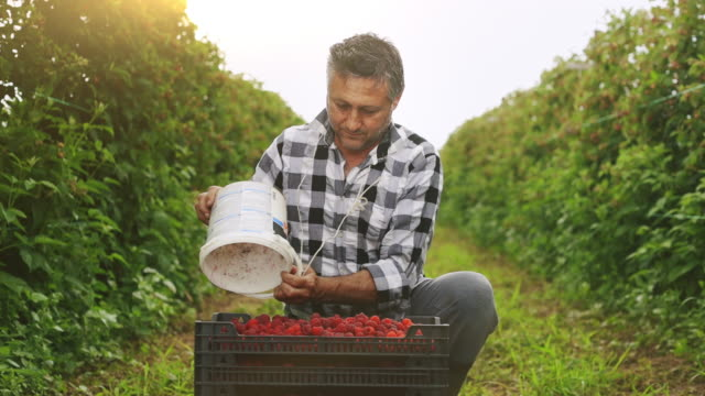 farmer pouring raspberries from a bucket to box full of raspberries stock video - orchard stock videos & royalty-free footage