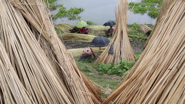 Farmer processing jute fibers from plants in a lake in Bangladesh on August 04 2017 / Jute in Bangladesh is called The Golden Fiber is used for...