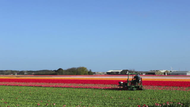 Farmer pruning tulips on a clear day in The Netherlands