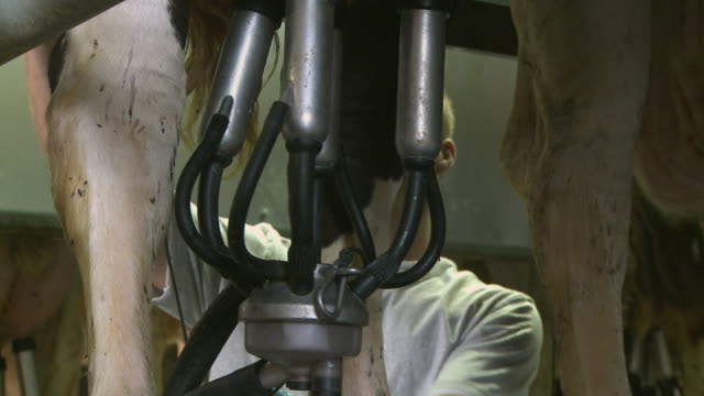 vidéos et rushes de ms farmer removing milking machine from udder of cow / newark, illinois, usa - traire