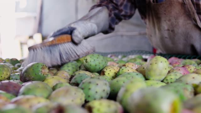a farmer removing thorns from prickly pears - ガラパゴスウチワサボテン点の映像素材/bロール