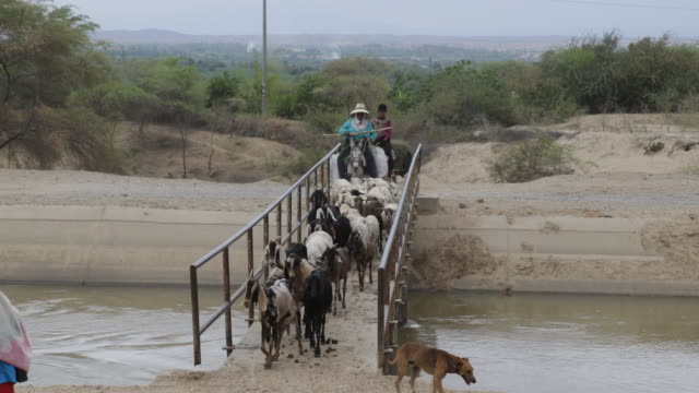 farmer riding a donkey and a herd of goats crossing a bridge - esel stock-videos und b-roll-filmmaterial