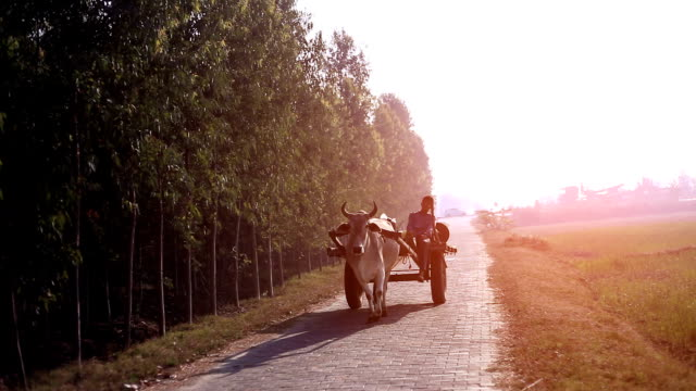 Farmer riding ox cart