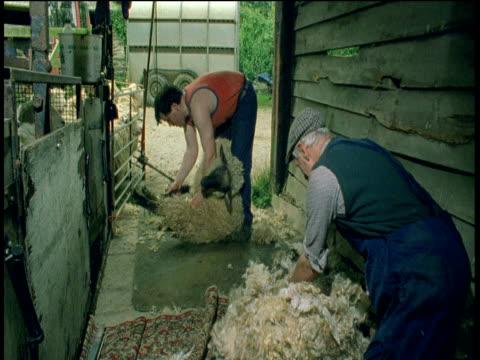vídeos y material grabado en eventos de stock de farmer rolls up a shorn fleece whilst sheep is being sheared in background - oveja merina