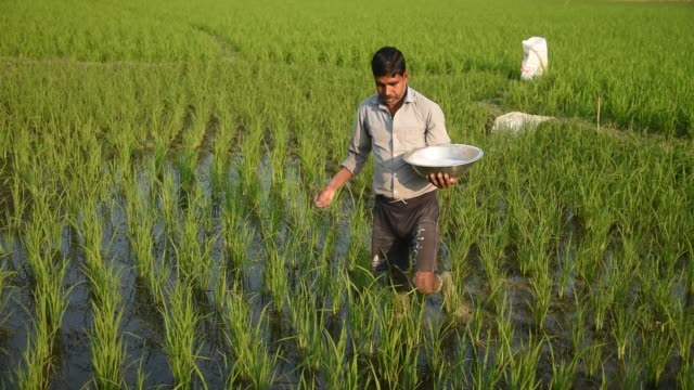 farmer scatters fertilizer in a newly planted paddy field - image stock-videos und b-roll-filmmaterial