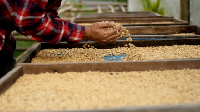 Farmer Scoop Up Coffee Bean Then Smell.