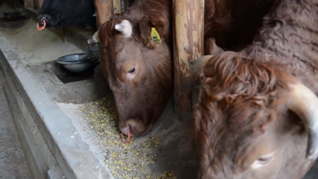 Farmer Seikou Sekimura feeds Chinese herbs to cows at his farm in Kurihara Miyagi Japan on Thursday Nov 24 A cow eats feed from a trough