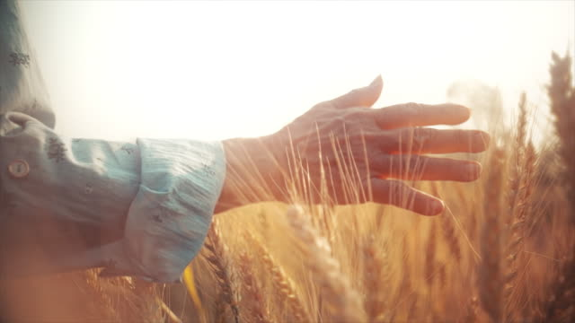 slo mo farmer senior woman hand caressing ripe golden wheat plants at sunset. - cereal plant stock videos & royalty-free footage