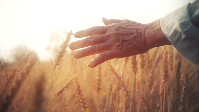 slo mo farmer senior woman hand caressing ripe golden wheat plants at sunset. - land stock videos & royalty-free footage