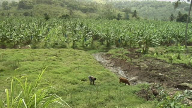 ha ws farmer setting stake in ground with cow at other end of rope for grazing lush green grass near row of coconut trees / saint lucia - kelly mason videos stock videos & royalty-free footage